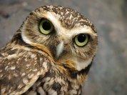 dingo84dogs burrowing owl on devian art
