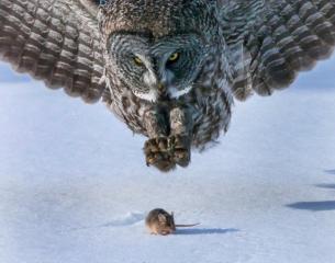 great-grey-owl-attacks-mouse NY daily news
