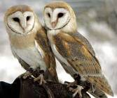 two-barn-owls factzoo