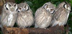 white-faced-scops-owls factzoo