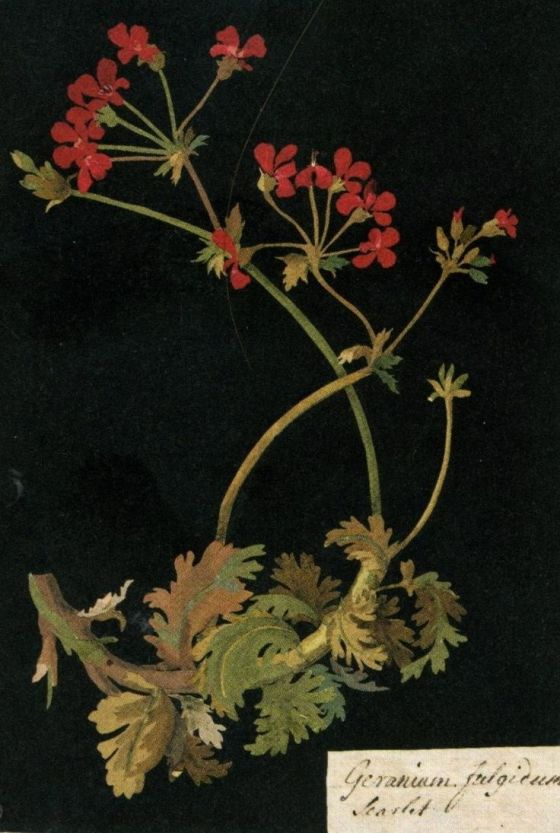 mary-delaney-geranium